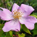 Climbing Prairie Rose in bloom