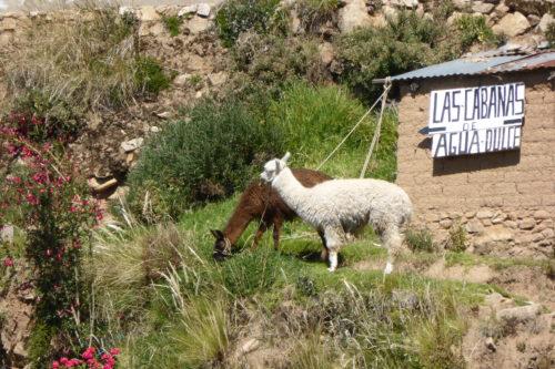 Llamas on Isla del Sol